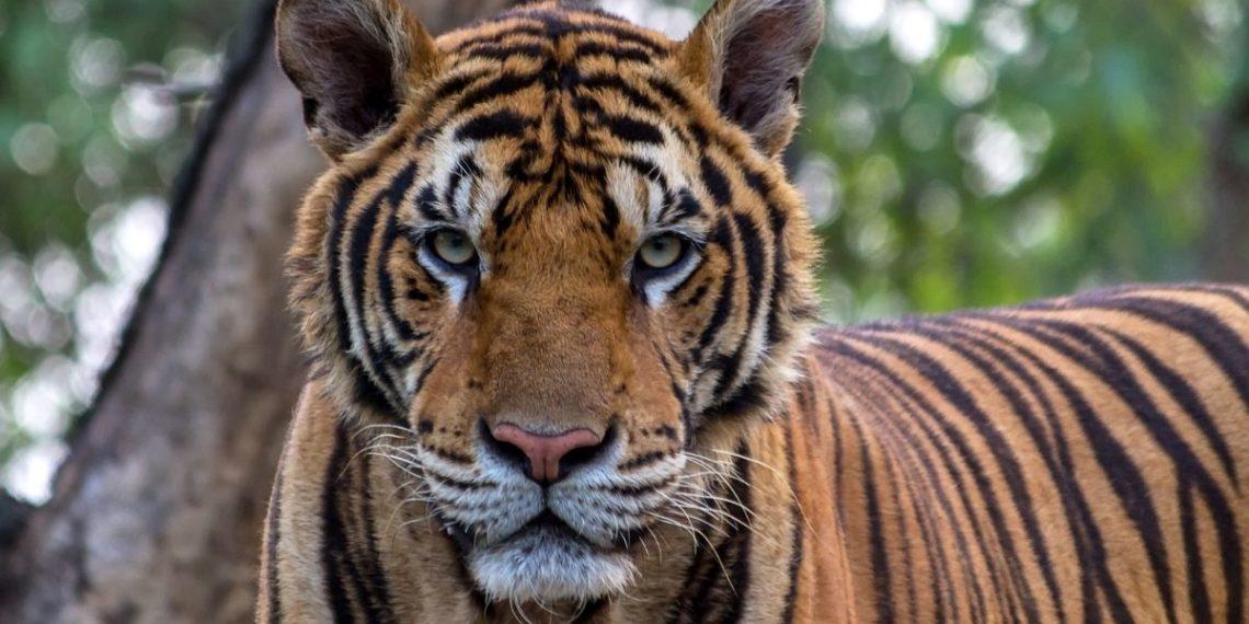 Tigre de bengala paseando en auto