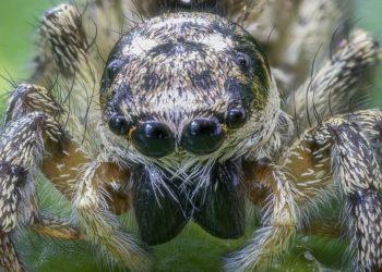 Araña cazadora tuvo 200 bebés