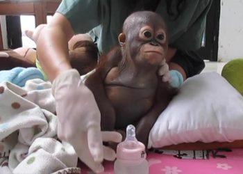Orangután rescatado gallinero